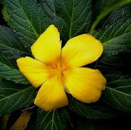 Flor de la Marilope