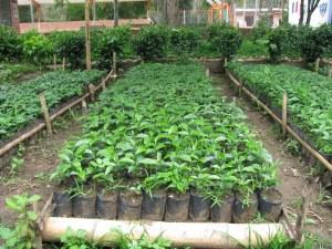 Avanza plantación de café en provincia de Cienfuegos